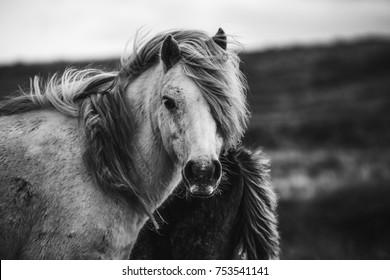Scottish wild horses portrait