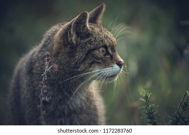 Scottish wildcat in the grass