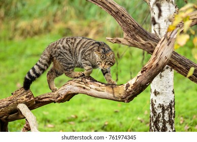 A Scottish Wildcat or Highlands tiger