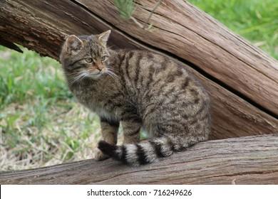 Scottish Wildcat on a branch
