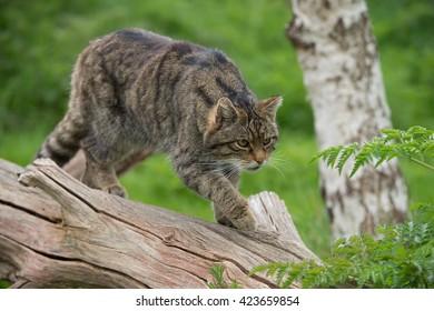 Scottish Wildcat on large tree trunk/Scottish Wildcat/Scottish Wildcat (Felis Silvestris Grampia)