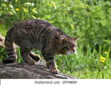 Scottish Wildcat on a log