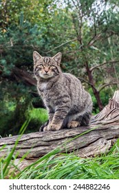 Scottish wildcat on log. A beautiful Scottish wildcat surveys the scene from its position on a log.