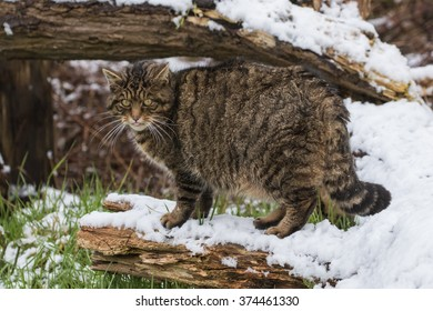 Scottish Wildcat on Tree Branch Covered in Snow.