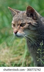 Scottish Wildcat prowling in long green grass/Scottish Wildcat/Scottish Wildcat (Felis Silvestris Grampia)