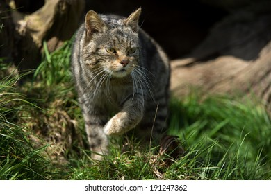 Scottish Wildcat stalking against a shadowed background/Scottish Wildcat/Scottish Wildcat