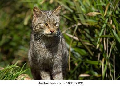 Scottish Wildcat in thick green foliage/Scottish Wildcat/Scottish Wildcat