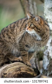 scottish wildcat turning to face left out of the shot/Scottish Wildcat