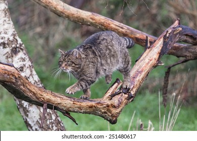 Scottish Wildcat walking along a branch. Caught in mid action.