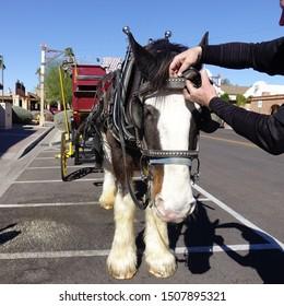 Scottsdale, Arizona / USA - February 2016:  Man adjusts halter on draft horse hitched to a classic stagecoach used to give tours of old Scottsdale, Arizona.