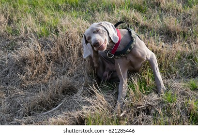 A Drowsy Dog Images, Stock Photos & Vectors | Shutterstock