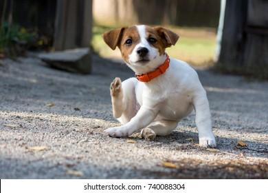 Scratching jack russel puppy