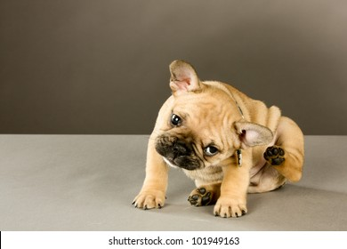 Scratching Puppy: Sweet six week old French bulldog puppy, brown with black points, wearing a collar and looking at the camera, scratches his ear Indoor studio shot with gray brown background