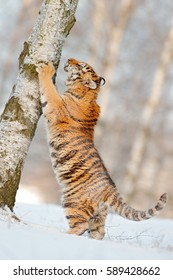 Scratching tiger with snowy face in wild winter nature. Action wildlife scene with dangerous animal. Cold winter in taiga, Russia. Snowflakes with beautiful tiger.