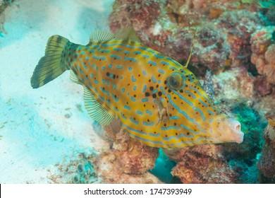 Scrawled filefish, broomtail filefish or scribbled leatherjacket (Aluterus scriptus) Bonaire, Leeward Islands