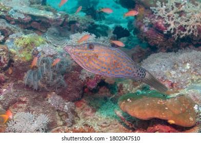 Scrawled filefish, broomtail filefish or scribbled leatherjacket (Aluterus scriptus) Mindoro, Philippines