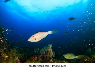 Scrawled Filefish on a healthy, colorful tropical coral reef.