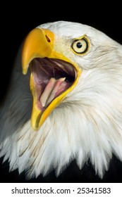 Screaming American Bald Eagle (Haliaeetus leucocephalus) portrait