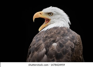 Screaming Bald Eagle (Haliaeetus leucocephalus) side profile and black background