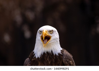 Screaming bald eagle on a dark background