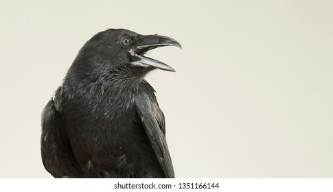 screaming black raven portrait