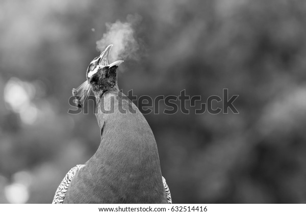 Screaming peacock in open zoo - black and white