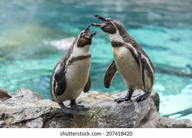 Screaming penguins on the stone. Loro Parque. Spain. Tenerife.