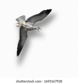 Screaming seagull flying on white background with shadow, giving illusion of 3d.
