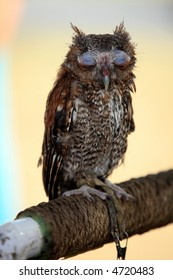 Screech owl at rest