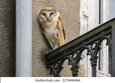 Screech owl Tyto alba perching on balcony of old building in city and looking straight