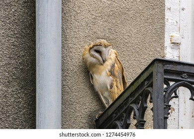 Screech owl Tyto alba perching on balcony of aged building in city and looking sideways