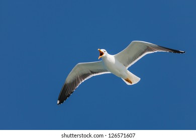 Screeching flying seagull in front of a deep blue sky