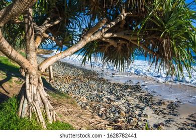 Screw Pine, Pandanus tectorius, on Wategos Beach, Byron bay, New South Wales, Australia