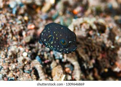 Scribbled Pufferfish Arothron mappa Juvenile