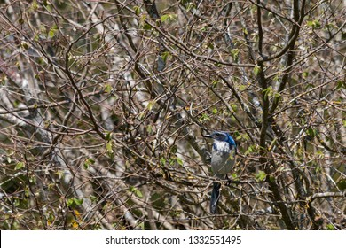 Scrub jay lost in the tangle of a hazelnut bush