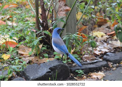A Scrub Jay is perched on the stones in the community garden at the Olympia Farmers Market in Olympia, WA, USA.