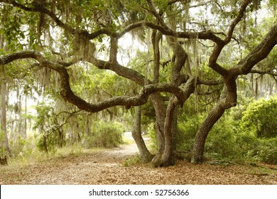 Scrub Oak or Live Oak Shading Lakeside Path