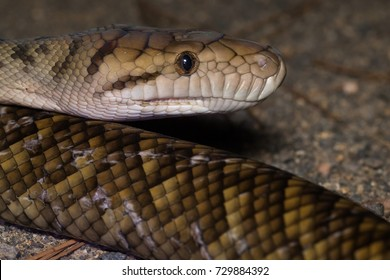 Scrub Python (Simalia kinghorni, formerly of the genus Morelia) is Australia's longest snake with unconfirmed reports of individuals over 7m. Kuranda National Park, Queensland, Australia.