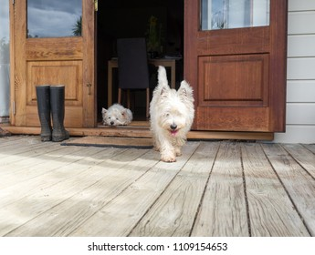 Scruffy westie dog walking out of open farmhouse door onto deck - another west highland terrier is lying in the background - photographed in New Zealand, NZ