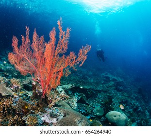Scuba diver in backgroud - red soft coral in front