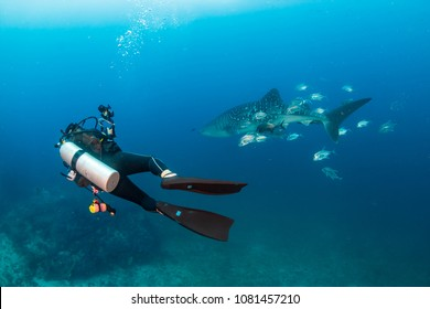 SCUBA diver with a camera swims next to a large Whale Shark on a tropical coral reef