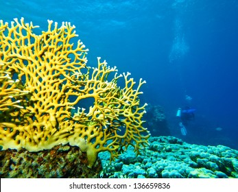 scuba diver with coral