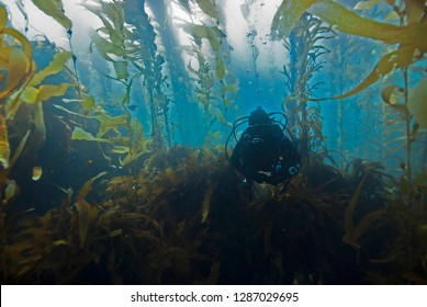 Scuba Diver diving through Giant Kelp Forest in clear blue water