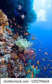 Scuba Diver explores beautiful coral reef.