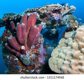 Scuba diver explores the beautiful coral reff.