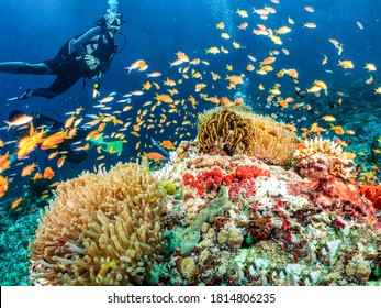 A scuba diver explores a colorful coral reef in the Indian Ocea, Maldives, full of fish and sea life