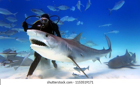 a scuba diver feed a very big tiger shark. concept of travel and diving tools. love for nature and oceans.