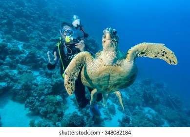 A SCUBA diver getting up close to a noble looking Hawksbill sea turtle