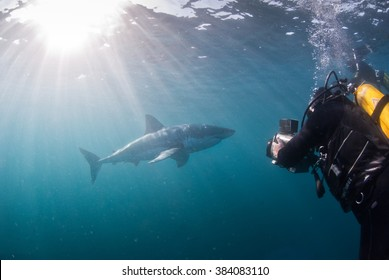 A scuba diver getting video footage of a great white shark when swimming up close in open water
