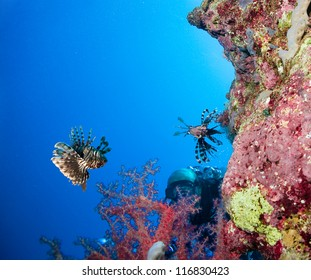 Scuba Diver observes a Lionfish on a coral reef in the Red Sea